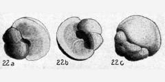 To Mikrotax (Globigerina aspera Koch 1926)
