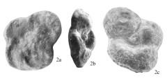 To Mikrotax (Bollitruncana Korchagin 2001)