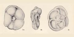To Mikrotax (Globotruncana (Praeglobotruncana))