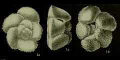 To Mikrotax (Globorotalia apanthesma Loeblich and Tappan 1957)