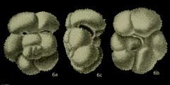 To Mikrotax (Globorotalia strabocella Loeblich and Tappan 1957)