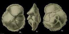 To Mikrotax (Globorotalia occlusa Loeblich and Tappan 1957)