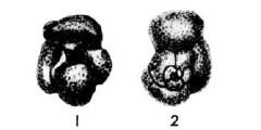 To Mikrotax (Globigerina baroemoenensis LeRoy 1939)