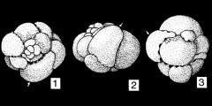 To Mikrotax (Polyperibola Liska 1980)