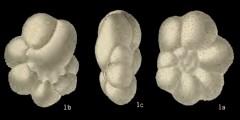 To Mikrotax (Globigerinita parkerae Loeblich & Tappan 1957)