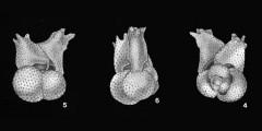 To Mikrotax (GlobigerinoidesellaEl-Naggar 1971)