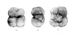 To Mikrotax (Globorotalia lupeae Martinez Diaz 1970)