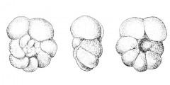To Mikrotax (Acarinina praecursoria Morozova 1957)
