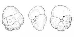 To Mikrotax (Acarinina indolensis Morozova 1959)