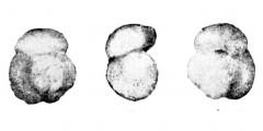 To Mikrotax (Acarinina primitiva Morozova 1961)