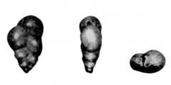 To Mikrotax (Chiloguembelina ujliaensis Morozova in Morozova et al. 1967)