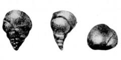 To Mikrotax (Chiloguembelina orientalis Morozova, in Morozova et al. 1967)