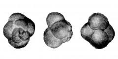 To Mikrotax (Acarinina microsphaerica Morozova, in Morozova et al 1967)