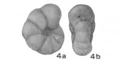To Mikrotax (Anomalina)