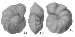 To Mikrotax (Globorotalia greenhornensis Morrow 1934)