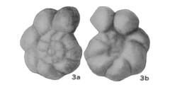 To Mikrotax (Globorotalia? multiloculata Morrow 1934)
