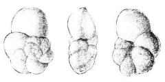 To Mikrotax (Globorotalia emilei El-Naggar 1966)