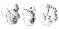 To Mikrotax (Globorotalia faragi  El-Naggar 1966)