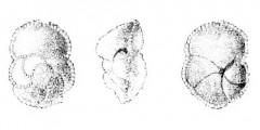 To Mikrotax (Globorotalia woodi El-Naggar 1966)
