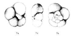 To Mikrotax (Globigerina quinqueloba Natland 1938)