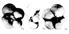 To Mikrotax (Globigerina hexagona Natland 1938)