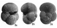 To Mikrotax (Pulleniatina okinawaensis Natori 1976)