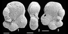 To Mikrotax (Protentelloides primitiva Zhang & Scott 1995)
