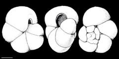 To Mikrotax (Globorotalia acrostoma Wezel 1966)