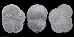 To Mikrotax (Globigerina semivera Hornibrook 1961)