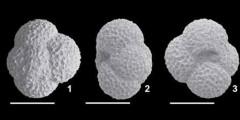 To Mikrotax (Globoturborotalita eolabiacrassata Spezzaferri & Coxall, in Spezzaferri et al 2018)