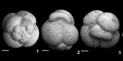 To Mikrotax (Catapsydrax gortanii Borsetti 1959)