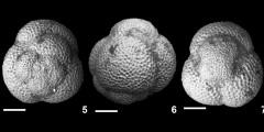 To Mikrotax (Catapsydrax venzoi Borsetti 1959)