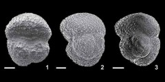 To Mikrotax (Globoquadrina sellii Borsetti 1959)