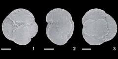 To Mikrotax (Globigerina venezuelana Hedberg 1937)