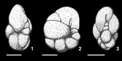 To Mikrotax (Cassigerinella eocaenica Cordey 1968)