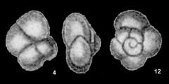 To Mikrotax (Globigerina? grata Todd 1957)