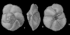 To Mikrotax (Globorotalia crosswicksensis Olsson 1960)