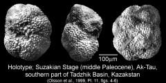 To Mikrotax (Globorotalia tadjikistanensis Bykova 1953)