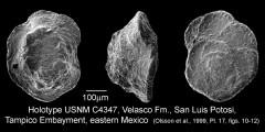 To Mikrotax (Pulvinulina velascoensis Cushman 1925)