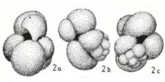 To Mikrotax (Globigerinanus loxophodellus Ouda 1978)