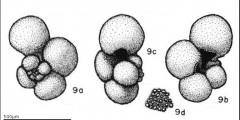 To Mikrotax (Globigerina calida Parker 1962)