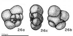 To Mikrotax (Globigerinita iota Parker 1962)