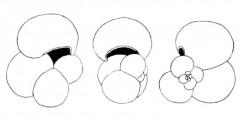 To Mikrotax (Globorotalia gavalae Perconig 1968)