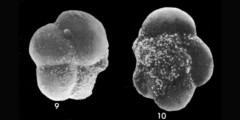 To Mikrotax (Globorotalia (Turborotalia) akersi Quilty 1976)