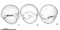 To Mikrotax (Globigerina sastrii Raju 1971)