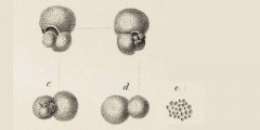 To Mikrotax (Globigerina triloba Reuss 1850)