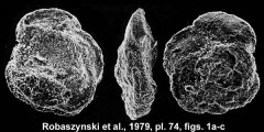 To Mikrotax (Marginotruncana sinuosa Porthault 1970)
