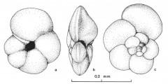 To Mikrotax (Globorotalia bermudezi Rögl & Bolli 1973)