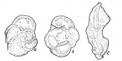 To Mikrotax (Globotruncana sigmoconcavata Scheibnerova 1963)
