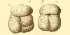 To Mikrotax (Globigerina gomitulus Seguenza 1880)